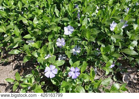 Several Violet Flowers In The Leafage Of Lesser Periwinkle In April