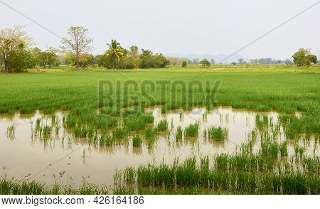 Rice fields in the north of Thailand. Rice crops in water. Tropical trees in the haze in the backgro