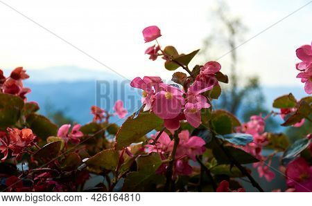 Pink Begonia Flowers Close-up. Blurred Mountain Landscape In The Background. Floral Background. Doi