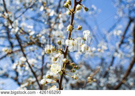 Flowering Fruit Tree In Springtime, Beautiful Spring White Flower