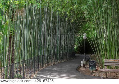 Bamboo Grove In The Arboretum Park Of The Sochi City, Russia