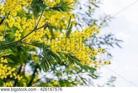 Blooming Branch Of Acacia Dealbata, Silver Acacia Or Mimosa. Festive Spring Season Concept. Mimosa B