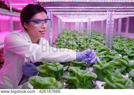 Positive Female Agronomy Scientist In Protective Glasses Examining Green Lettuce Plants Growing In H