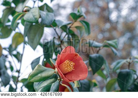 Red Camellia Japonica Flowers Blooming Bush With Green Leaf In The Park. Japanese Camellia In Blooms