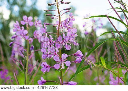 Field Of Blooming Sally Flowers, Wild Medicinal Herbal Tea Of Willow Plant Or Epilobium. Willow-herb