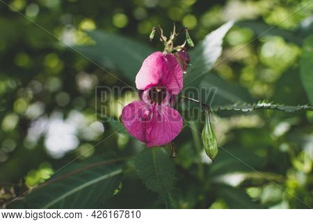 Beautiful Himalayan Balsam, Impatiens Glandulifera Blooming Flower Close Up Photo. Policeman Helmet