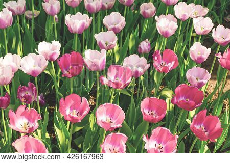 Amazing Green Garden With Pink Tulips, Beautiful Spring Time