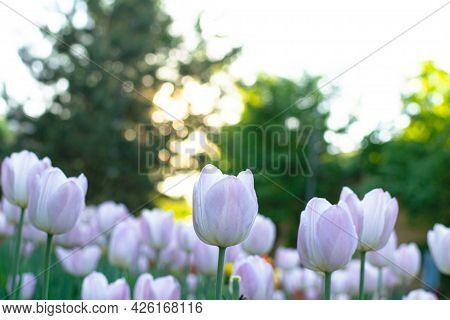 Garden With Amazing White Tulips, Tulip Field