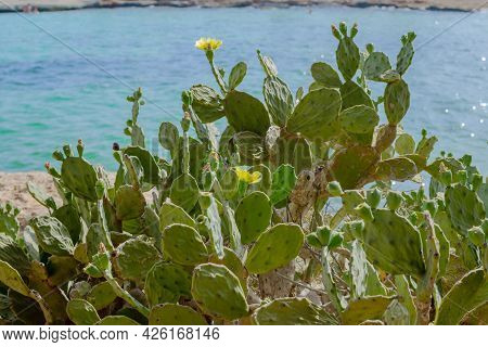 Prickly Pear Cactus With Yellow Flowers Near Cyprus Nissi Beach, Ayia Napa. Opuntia, Ficus-indica, I