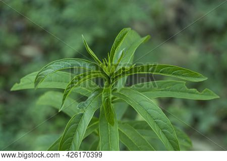 The Wild Medicinal Plants, Also Called Medicinal Herbs Such As Aloe, Tulsi, Neem, Turmeric And Ginge