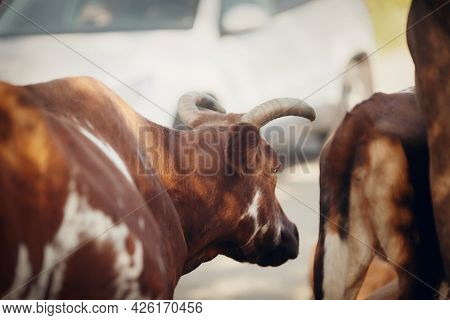 A Herd Of Cows Is Walking Past A White Car. Portrait Of A Horned Spotted Cow. Portrait Of A Bull. A