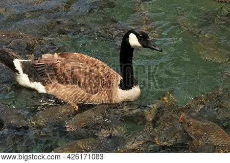 Close-up Of A Canada Goose Swimming Among Large Carp Fish, Competing For Food, In A Clear Lake.
