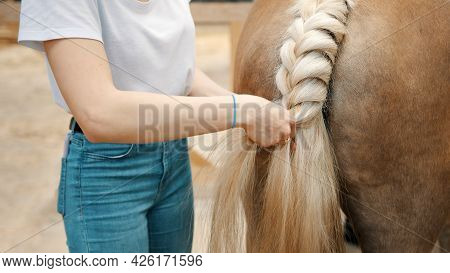 Girl Braiding The Blonde Tail Of Her Palomino Horse Standing Outside The Stable. Female Horse Owner