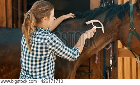 Horsewoman Cleaning Her Dark Bay Horse In The Stable. Holding A Scraper In Her Hands Gently Cleaning