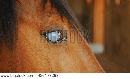 Close-up View Of A Dark Brown Blind Horse With A Black Mane. Dark Bay Horse. Injured Blind Horse In