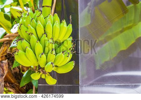 Green Yellow Bananas Are Growing On Koh Samui Island In Thailand.