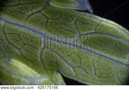 Green Celery Leaf Macro Under The Microscope With A Magnification Of 40 Times, Objective 4