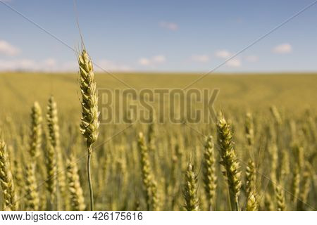 Grain Stalk In Front And Blurred Grain Field In Background