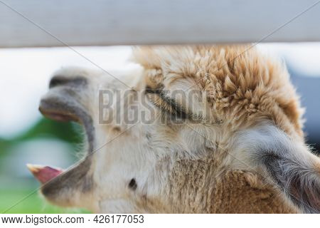 White Alpaca Yawning With Mouth Open Looking Up On Farm,side View. White Alpaca Llama Head With Mout