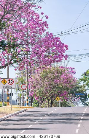 Campo Grande - Ms, Brazil - July 4, 2021: Beautiful Pink Flowers Of A Ipe Trees At Mato Grosso Avenu