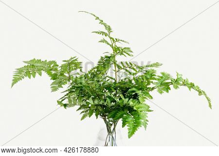 Fresh green leatherleaf fern isolated on background