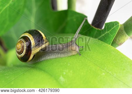 Crawling Snail On A Green Leaf, Close-up. Studio Photography Of A Snail On A Wet Green Leaf. Backgro