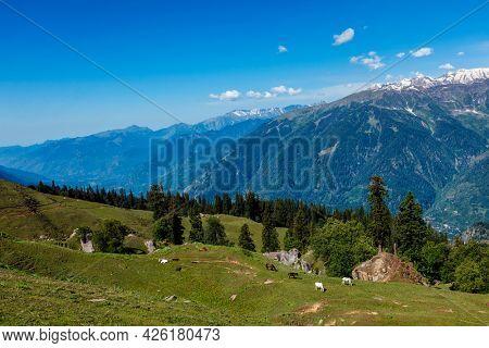 Horses grazing in Himalayas mountains. Himachal Pradesh, India
