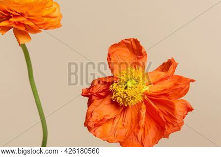 Close up of red poppy flower on beige background