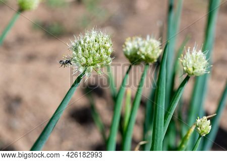 A Bee Flew To The Garden With Onions
