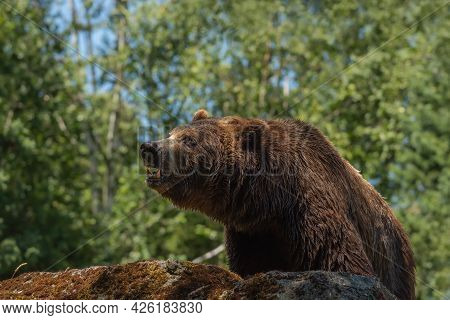 The Thirst In His Eyes. Large Grizzly Bear On All Four On Mountainside, Shows Teeth.