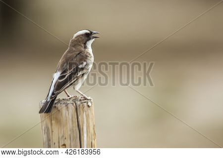 White Browed Sparrow Weaver Isolated In Natural Background In Kgalagadi Transfrontier Park, South Af