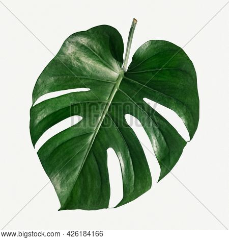 Monstera delicosa plant leaf  on a white background