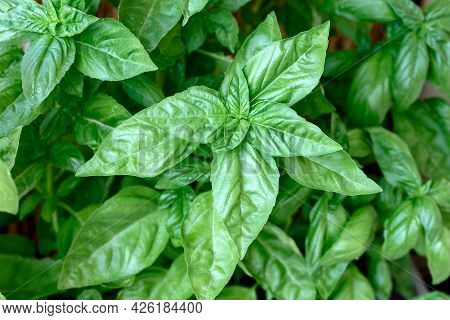 Fresh Organic Basil, Basil Spice Used In Most Italian Cuisine, Italian Kitchen