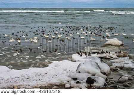 Birds On The Sea In Winter. Waterfowl In Winter. Swans And Gulls In The Sea In Winter.