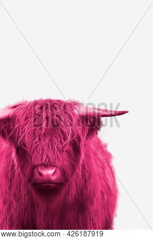Pink highland calf isolated on background