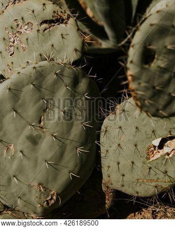Prickly pear cactus close up