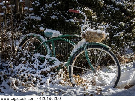 Snow Covered Antique Bicycle Parked Among Evergreens.