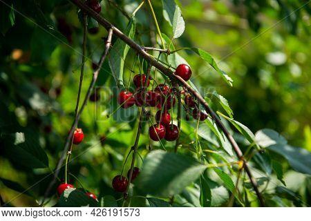 Red Ripe Cherry Berries Prunus Subg. Cerasus On Tree In Summer Vegetable Garden.