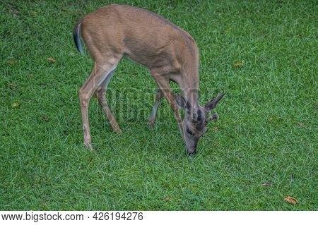 Young Buck With Velvet Antlers Eating Grass In The Backyard By Himself In Early Summertime Closeup V
