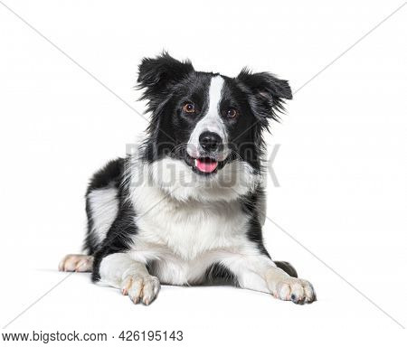 border collie panting, lying down, isolated on white