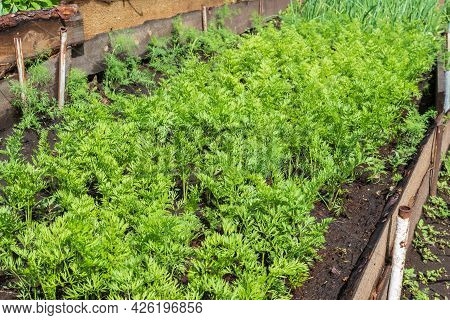 Green Tops Of Growing Young Carrots On A Garden Bed. Simple Home Eco Gardening. Organic Agriculture