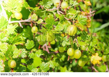Green Gooseberry On A Bush Branch In Fruits Garden In Sunny Summer