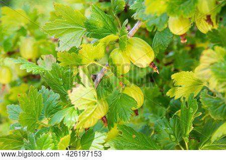 Bush Of Green Gooseberry In The Fruit Garden. Seasonal Gardening And Horticulture Background