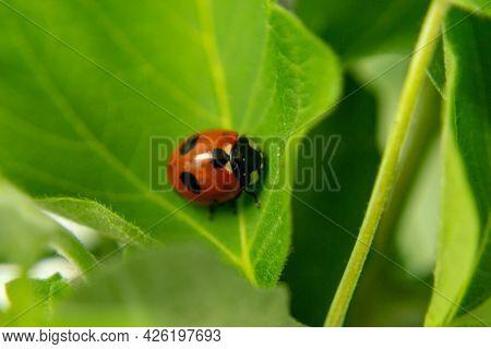 Ladybug Sitting On A Fresh Green Grass Shallow Dof