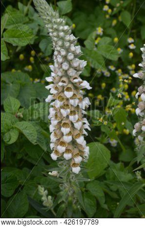 Flowers Of Woolly Foxglove Or Grecian Foxglove. Digitalis Lanata
