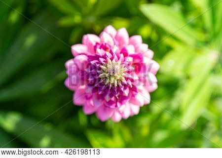 Spike Of Pink Lupine Flower On Blurred Green Background. Top View