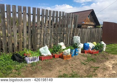 Krasnoyarsk, Russia - May 20, 2021: Young Vegetable Seedlings In Plastic Containers Near A Wooden Fe
