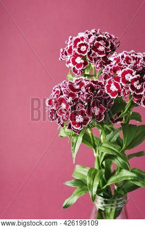 Bouquet Of Carnation Flowers On A Dark Pink Background. Dianthus Barbatus (sweet William).