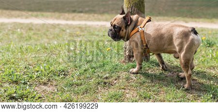 French Bulldog Ist Standing In The Park