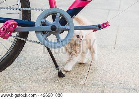 Scared Persian Kitten With Blue Eyes Near The Bike